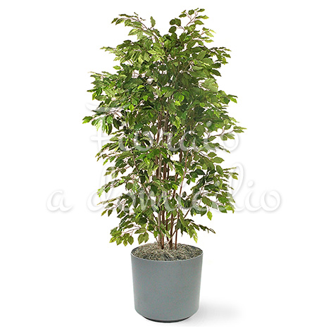 FicusBush