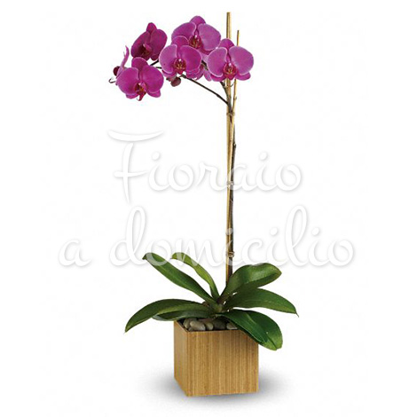 orchidea-phalenopsis-viola